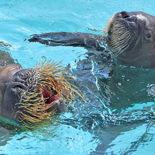 e bebe morse d'Arnaliaq aquarium, QUEBEC