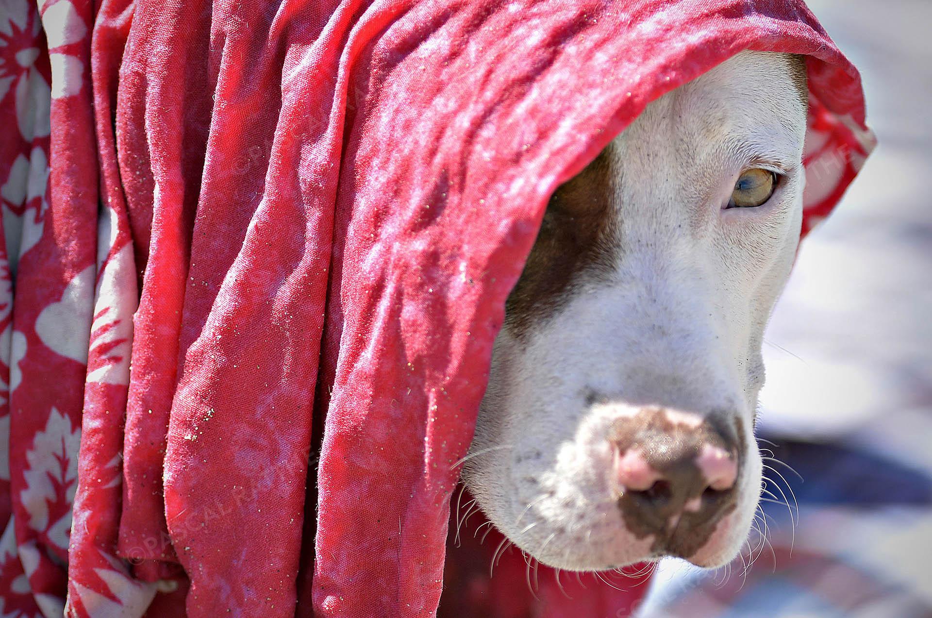 Un chien à moitié caché par un drap rouge