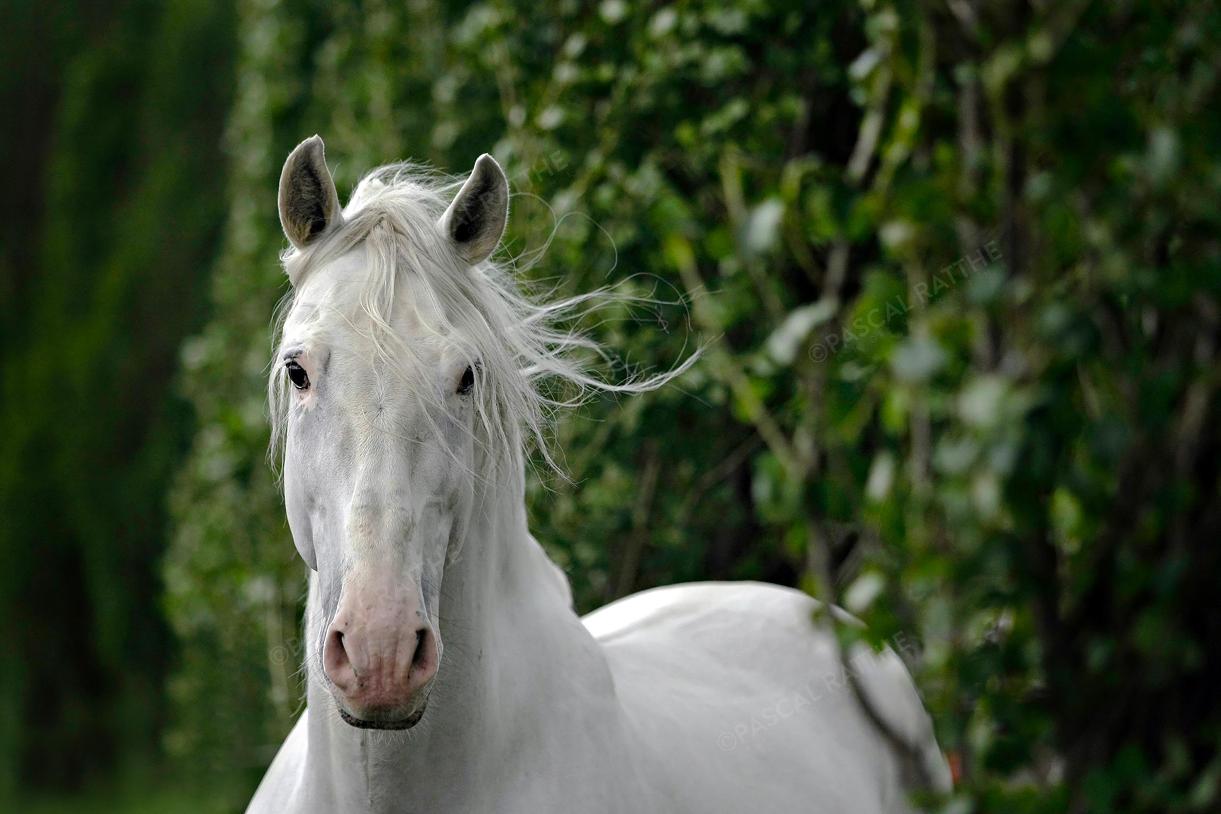 Un cheval blanc nous regarde de face