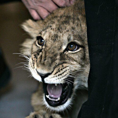 les policiers de Kitigan Zibi on trouvé le Lion Boomer dans la region de Maniwaki