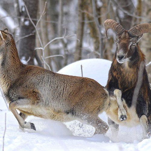 un bouc et une chèvre dans la neige