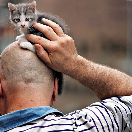 Un chaton sur la tête d'un homme chauve