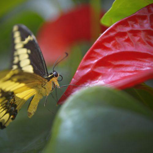 papillon jaune sur une fleur rouge à Québec