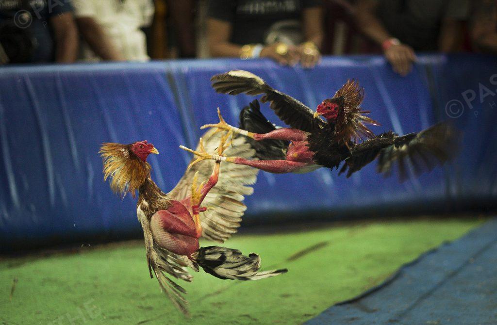 combat illégal de Coqs à Cuba